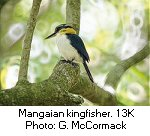 Mangaian kingfisher